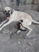 Sahipsiz sokak köpeği kediye annelik yapıyor