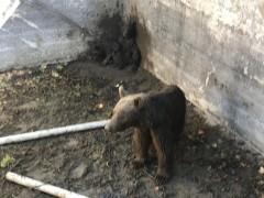 O ayılar artık doğal ortamlarında